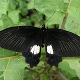 Atrophaneura polydorus LINNAEUS, 1763, femelle. Warkapi (Arfak), fin août 2007. Photo : J. Michel
