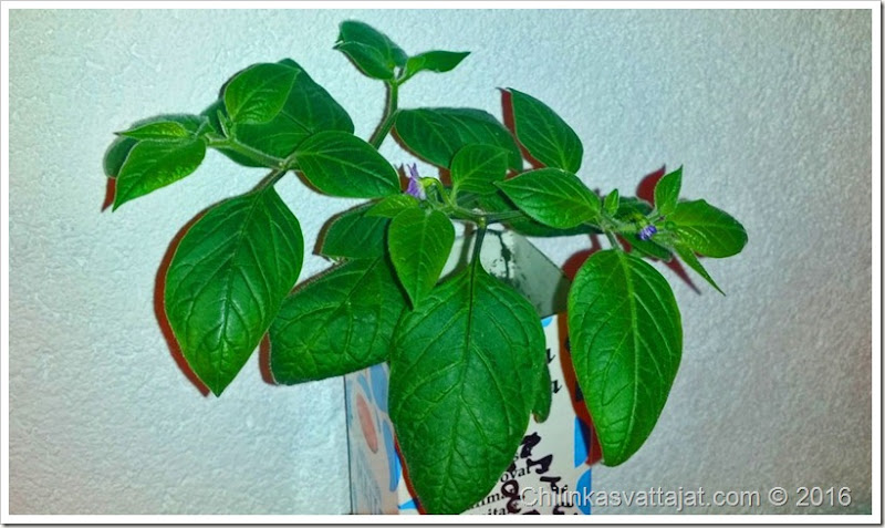 orange_rocoto