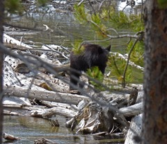 Bear at String Lake - Tetons