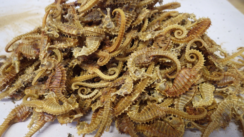 More of the ten thousand seahorses for sale illegally iin one shop iin Devon