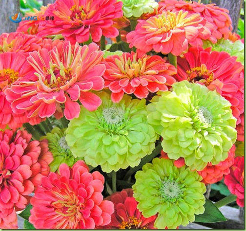 50-Seeds-Zinnias-Exclusive-Custom-Mix-Coral-and-Lime-Envy-Green-Heirloom-Annuals-Cutting-font-b