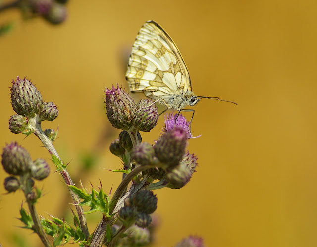 Melanargia galathea LINNAEUS, 1758, femelle. Les Hautes-Lisières (Rouvres, Eure-et-Loir), 2 juillet 2010. Photo : J.-M. Gayman
