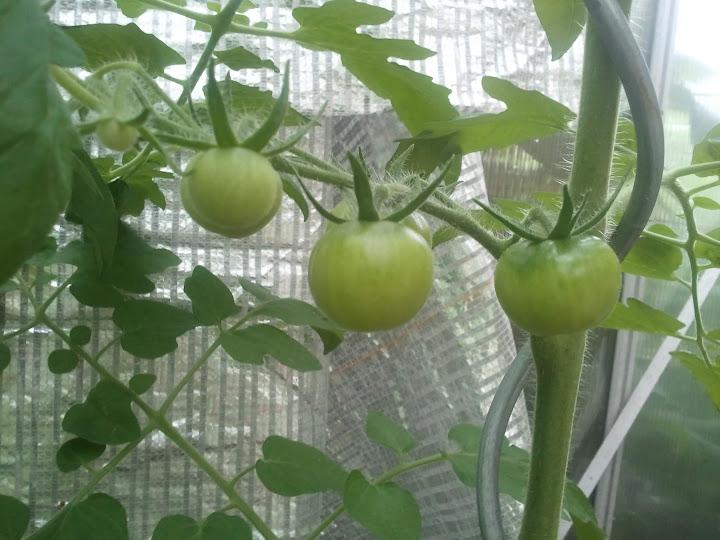 Snart kan vi plocka tomater!