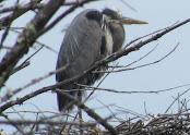 Heron Colony at Libby Hill-025.JPG