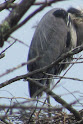 Heron Colony at Libby Hill-025.JPG