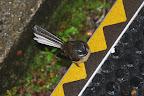 A fantail, another New Zealand bird.