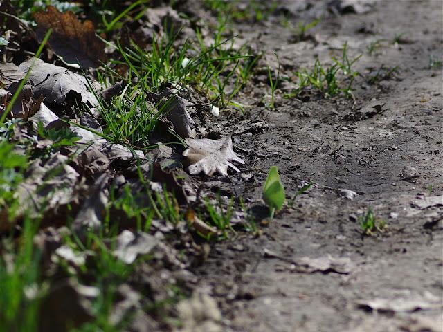 Gonopteryx rhamni, femelle. Les Hautes-Lisières (Rouvres, 28), 26 mars 2012. Photo : J.-M. Gayman
