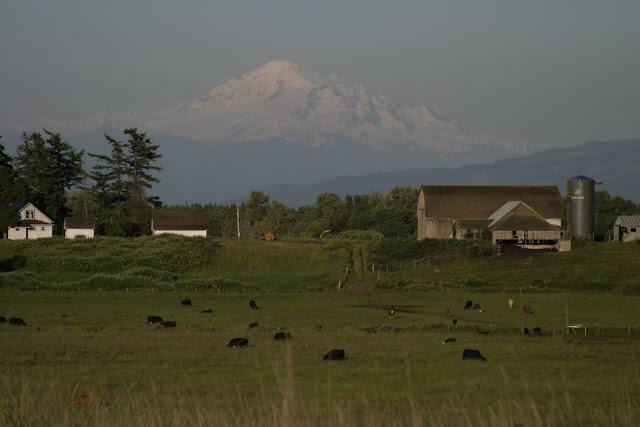 Mt. Baker looms over cows grazing in fields / Credit: Peter James Photography Studio
