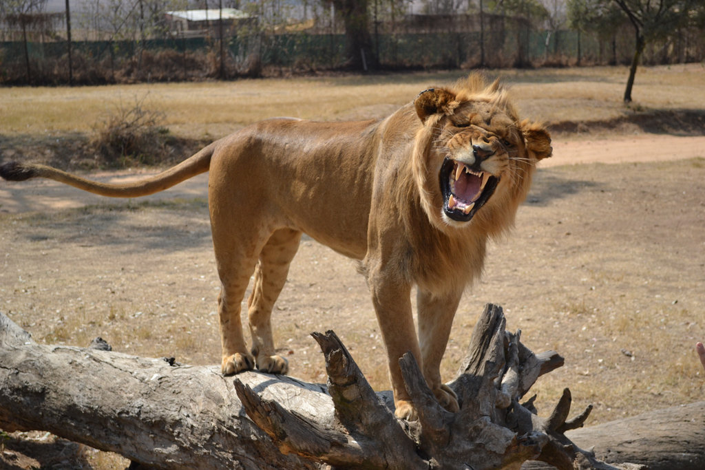 Lion roar Check out those teeth! by RecreateStock1