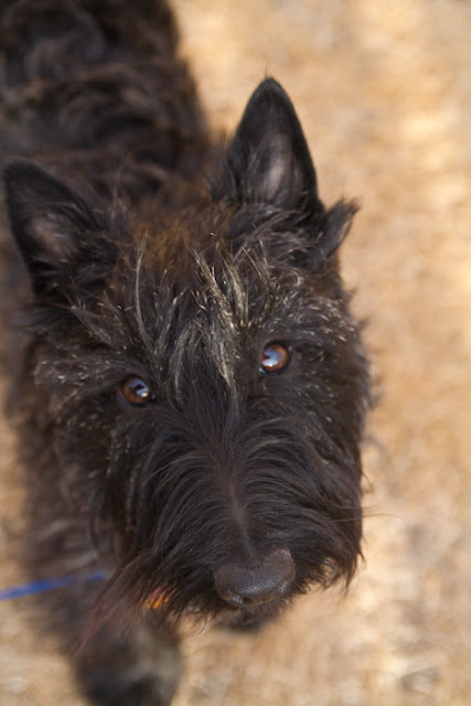 >Pepper {Scottish Terrier} - Adopted
