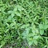 雑草に紛れるバジル