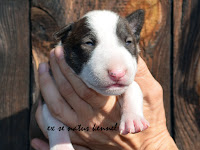 MEANING OF LOVE Ex Se Natus – female brindle and white 15 days old