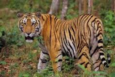 Harimau Sumatra Berkeliaran di Tahura, Warga Diimbau Waspada