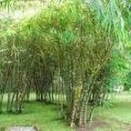 buddha bambooiii.jpg