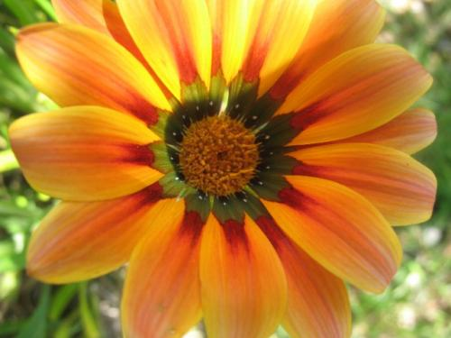 Un fiore bello come il sole