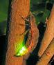Glimworm