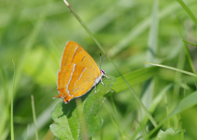 Thecla betulae (Linnaeus, 1758), femelle. Les Hautes-Lisières (Rouvres, 28), 11 septembre 2015. Photo : J.-M. Gayman