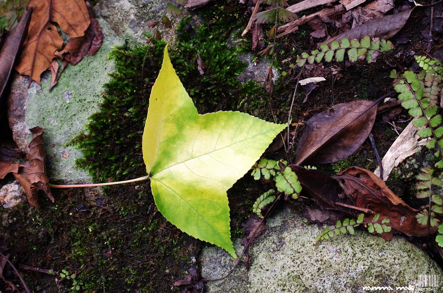 掉落的楓葉