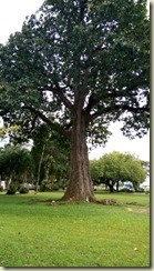 IMG_20180131_Brazil Nut tree