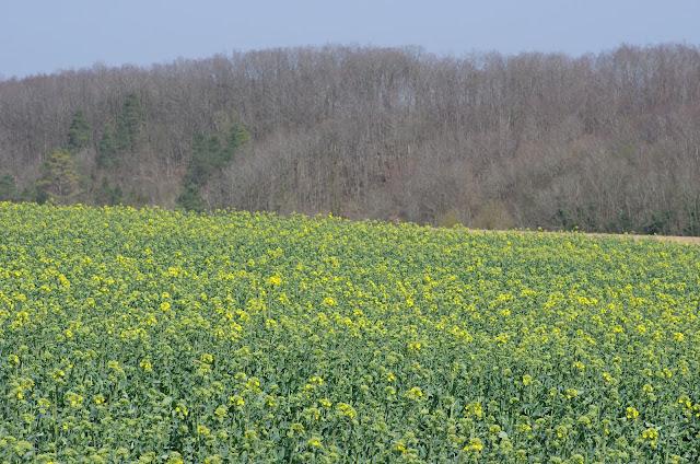 Colza au Printemps. Les Hautes-Lisières (Rouvres, 28), 29 mars 2012. Photo : J.-M. Gayman
