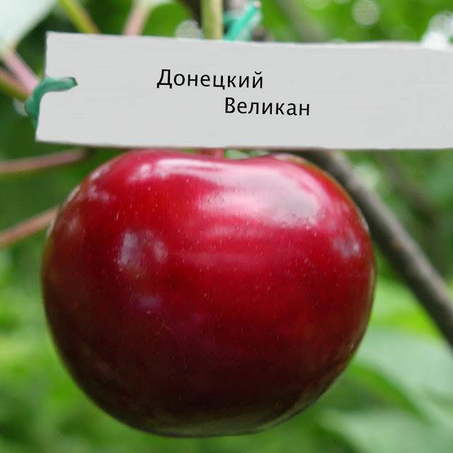 Донецкий великан яблони купить