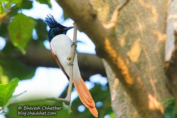 Beautiful Female Asian Paradise Flycatcher