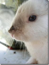 rogna sarcoptica coniglio -1