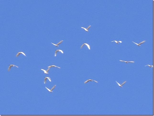egretsIMG_5632