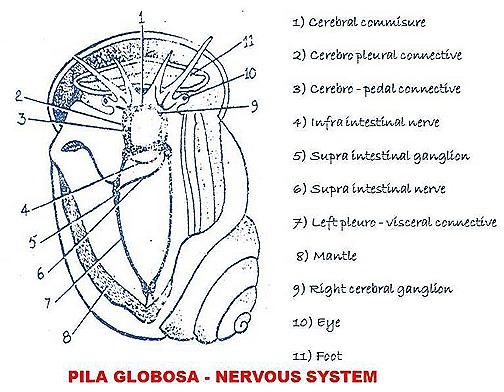 pila-snail- nervous system