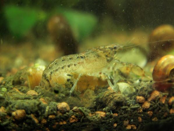 Aquariums plantés PICT0018