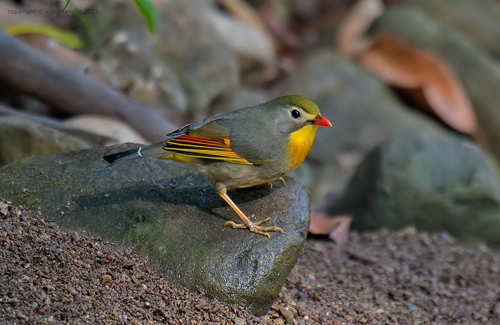 Red-billed Leiothrix * Leiothrix lutea * 13 cms