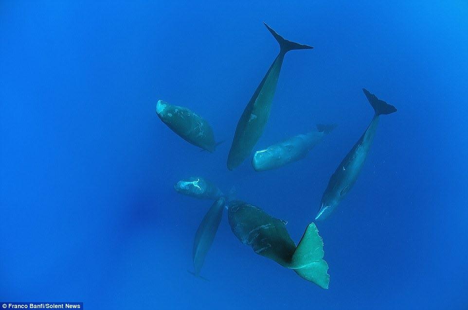 sperm-whales-franco-banfi-3
