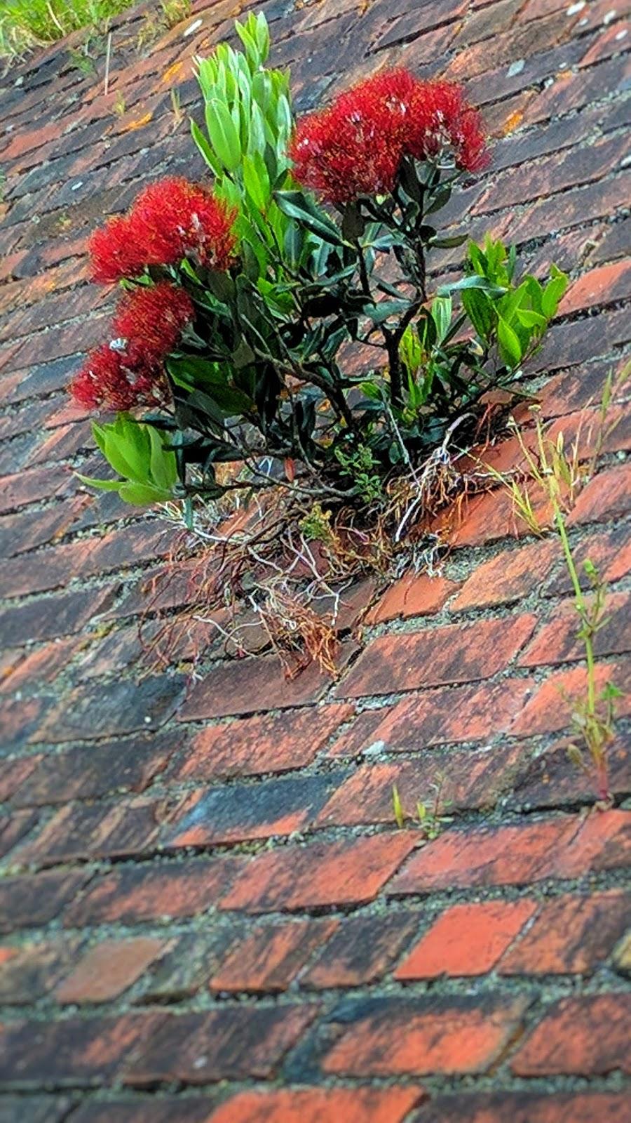 Pohutakawa bud growing through a near vertical wall