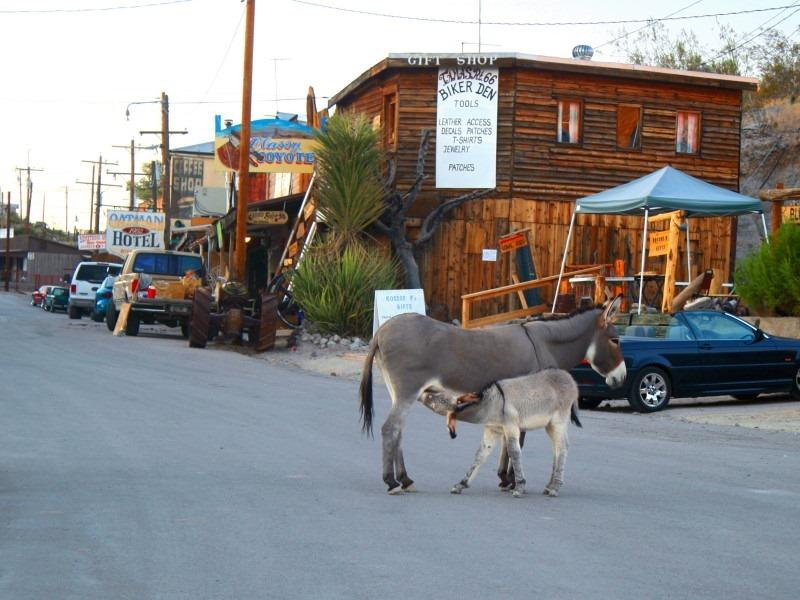 burros-oatman-5