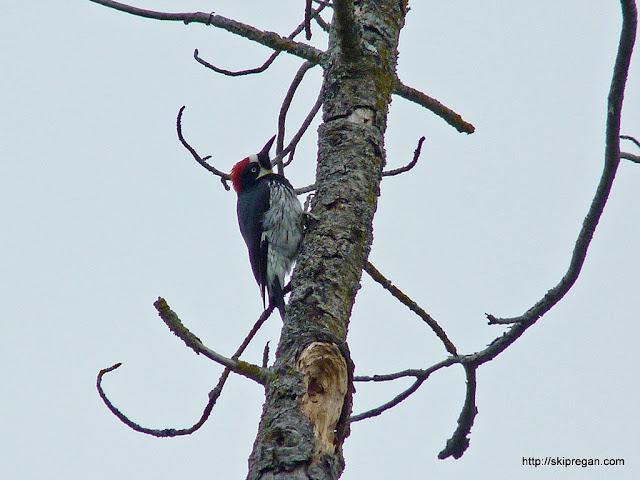 acorn-woodpecker-1.jpg