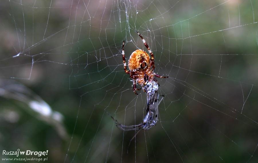 Pająk pożerający owada
