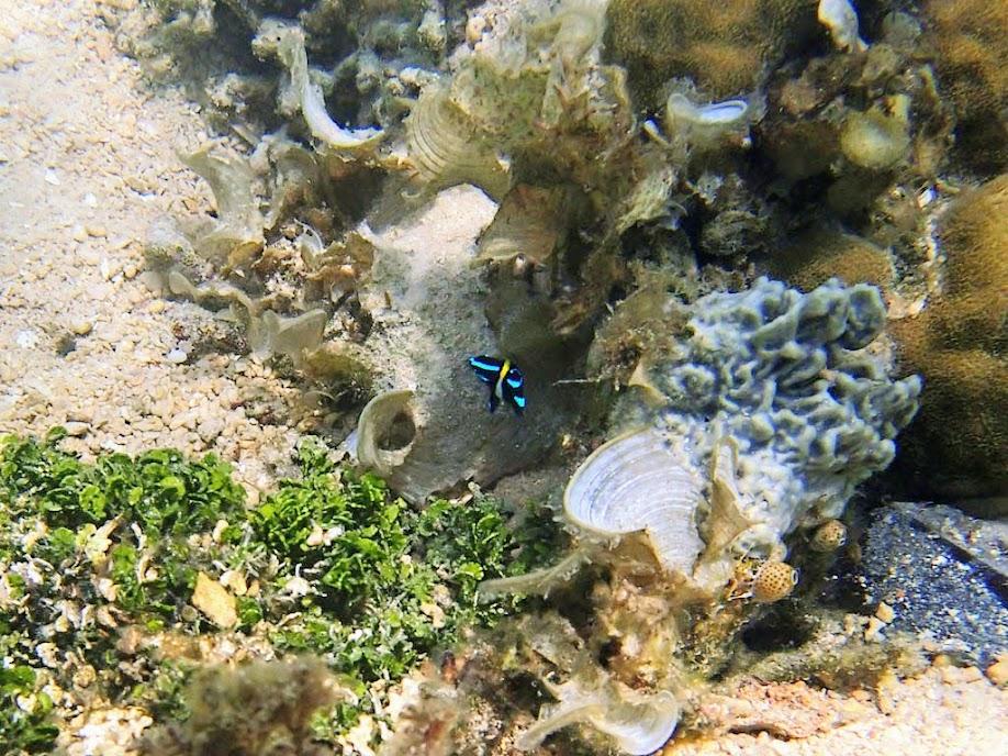 Neoglyphidodon oxyodon (Neon Velvet Damsel),Chindonan Island, Palawan. Philippines.