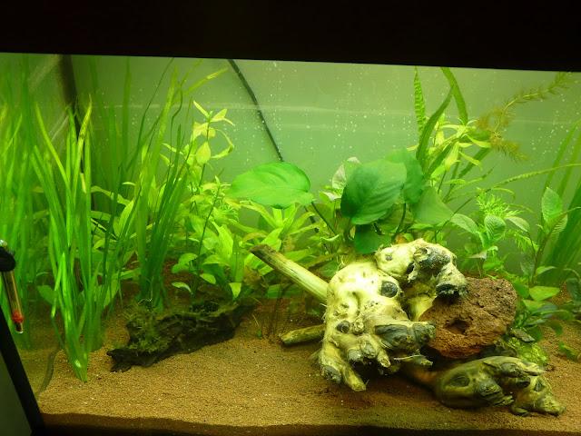 Ma petit histoire Aquariophile de 2009 à aujourd'hui  P1020591