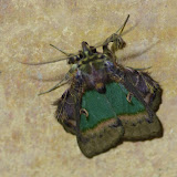 Noctuidae, Dyopsinae : Ceroctena amynta (Cramer, 1779). Fundo Palmarito, 265 m (Yopal, Casanare, Colombie), 7 novembre 2015. Photo : J.-M. Gayman