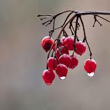 Highbush-Cranberry_MG_2860-copy.jpg
