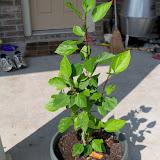 Gardening 2010, Part Two - 101_3459.JPG