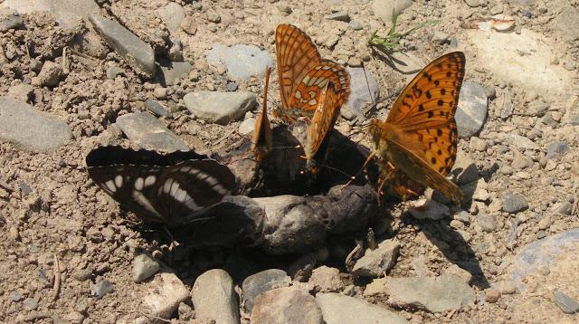 Neptis philyra MÉNÉTRIÉS, 1859, Euphydryas intermedia (mâles) et Argynnis aglaja (mâle). Tigrovoy, 25 juin 2011. Photo : J. Michel