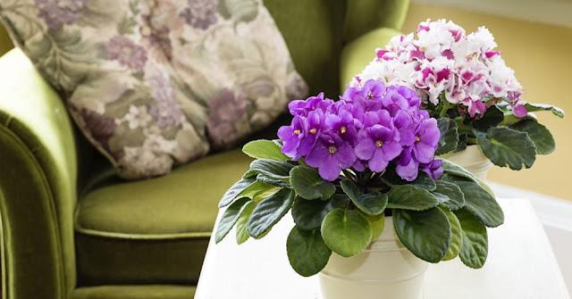 violeta planta para decorar interiores