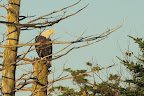 IL EST OU JOHNNY ?     Pygargue à tête blanche à l'affût des jeunes fous de bassan sur un arbre surplombant la colonie