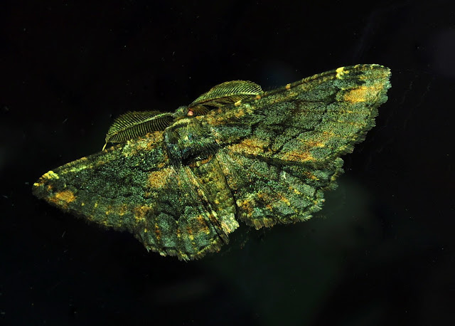 Geometridae : Ennominae : Boarmiini : Pholodes sinistraria GUÉNÉE, 1857, mâle. Umina Beach (New South Wales, Australie), 25 mars 2011. Photo : Barbara Kedzierski