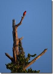Cardinal up high-1
