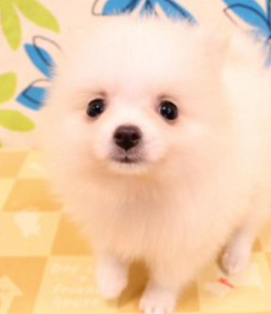 と告げられショップでの写真を見せられました。 犬種はポメラニアン。 まだ生後60日程度の小ちゃい子犬です。