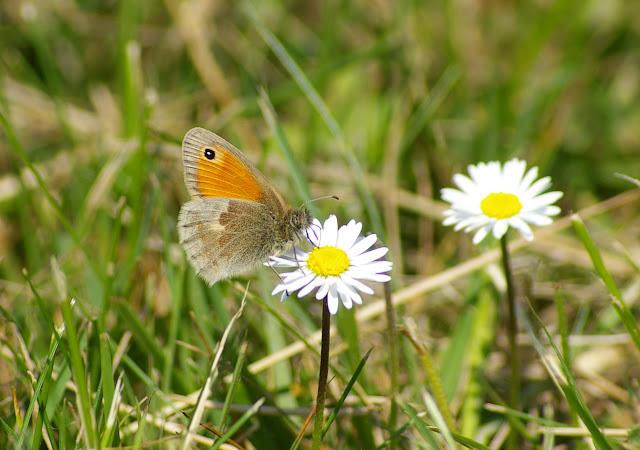 Coenonympha pamphilus LINNAEUS, 1758. Hautes-Lisières (Rouvres, 28), 4 mai 2011. Photo : J.-M. Gayman