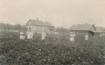 Хутор Контов,картофельное поле(из личного архива Поляковой Л.В.)