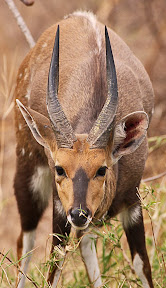Hungry Nyala Male, South Africa